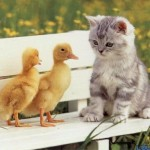 kittenplusducks