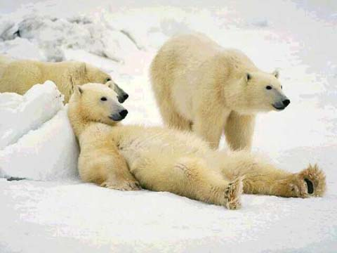 3 lazy polar bears